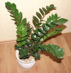 Цветок Замиокулькас (Долларовое дерево)