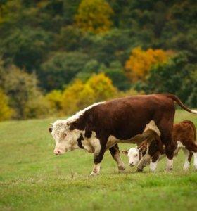 быки 10месяцев