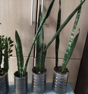 Сансевиерия-домашнее растение