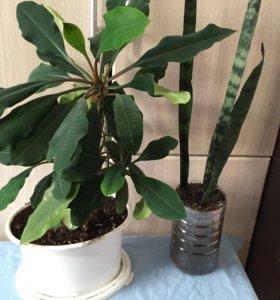 молочай беложилковый взрослое растение