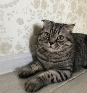 Кот на вязку , вислоухий британец