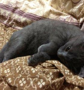 Котенок полубританец