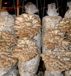 вешенки ,грибные блоки