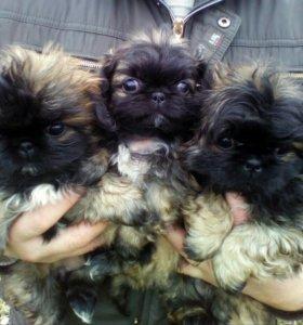 Пекинеса щенки