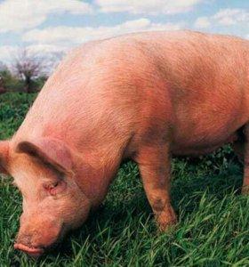 Мясо свинины