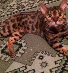 Кот и Кошка бенгальские!!!!