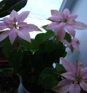 Пуансетия розовая