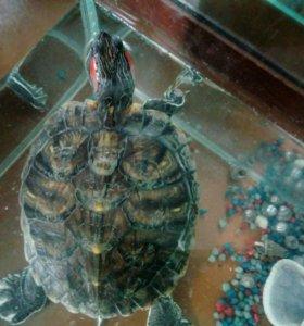 красноухая черепаха к ней аквариум!в подарок