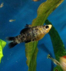Рыбка моллинезия