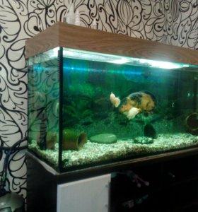 Аквариум с рыбками. Астранотусы 3 пары.Возрост 1.5