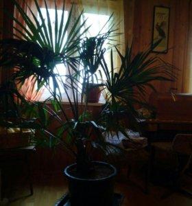 Пальма веерная ,привезённая из города Сочи. 1м 40