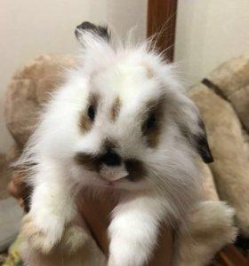 Вислоухий кроль Боник )