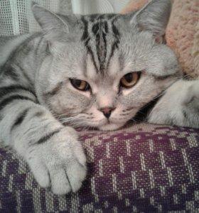 Кот для вязки шотландский