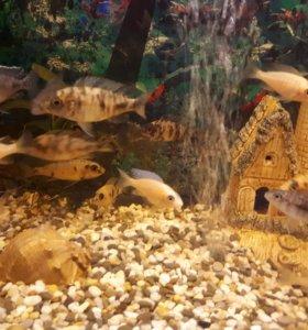 Африканские цихлиды