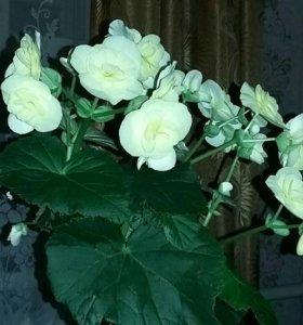 Бегония,хлорофитум,китайская роза, сингониум.