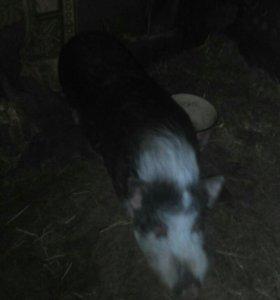 Хряк и свиноматка вьетнамские