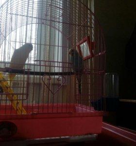 Попугаи с клеткой, возможен торг