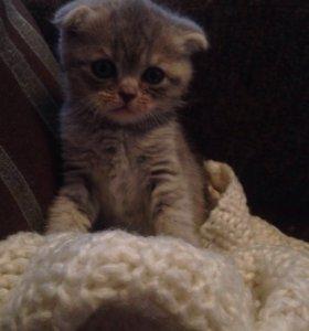 Продам Шотландского вислоухого котёнка 🐱