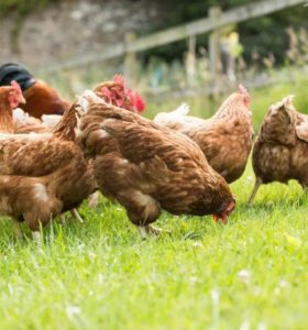 Устойчивая курица