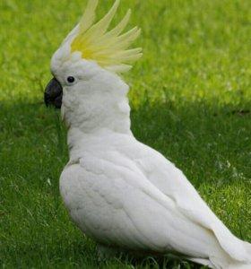 Говорящий Попугай Какаду