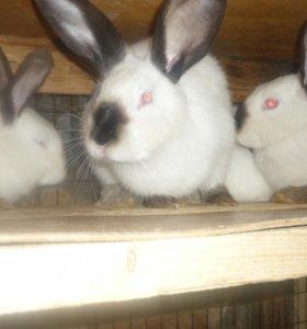 кролики на племя. 4месяца. Калифорнийские.