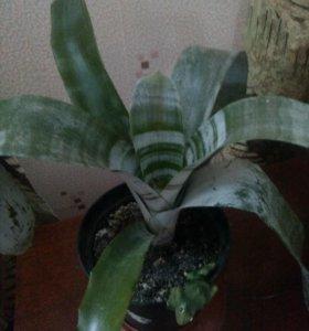 Эхмея. Комнатное растение.