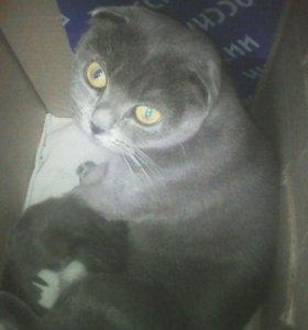 Прийму заказ на покупку котят бретанцы веслоухии
