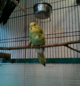 Волнистые попугаи, птенцы