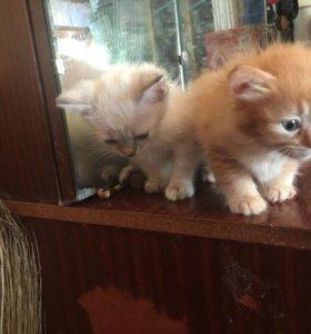 Котёнок девочка рыжий окрас сибирская порода
