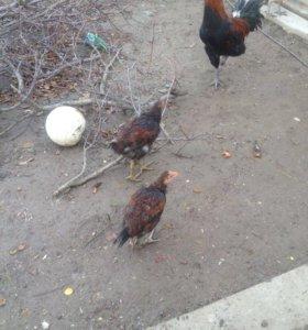 Бойцовские цыплята шт 300