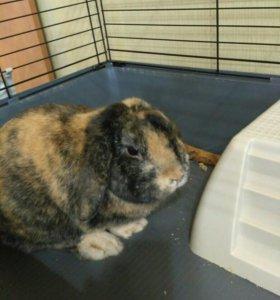 Кролик вислоухий мальчик 1,5 года