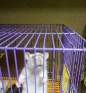 Крысята интересных окрасов.