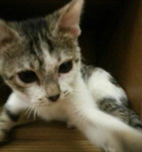 Продаю котёнка - родился 12 июля, кличка Серый.