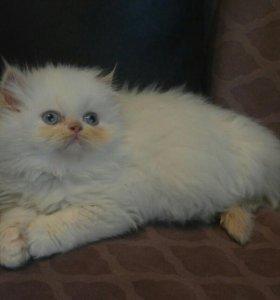Котенок мальчик перс 2 месяца.