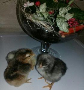 Цыплята и инкубационное яйцо.