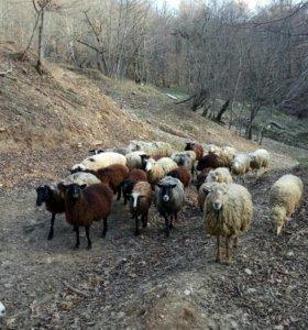 Козы и овцы котные