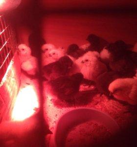 Цыплята китайской шелковой