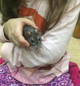 Продам декоративную крысу с клеткой