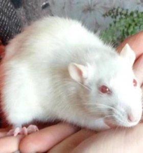 Продам декоративных крыс