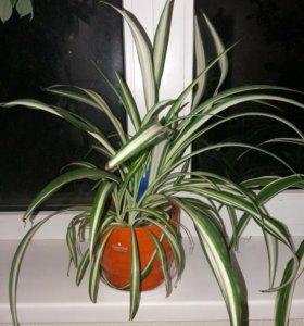 Продаем или поменяю на орхидею