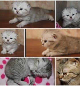 Шотландские котята премиум класса