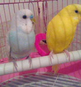 Попугаи волнистые мальчик и девочка с клеткой
