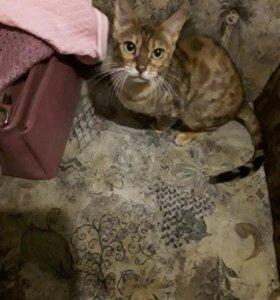 бенгальского кота