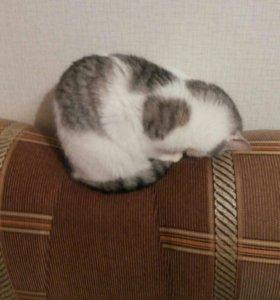 Кошка помесь с шотландской