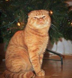 Кот для вязки, рыжий шатланец вислоухий