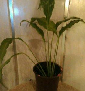 Спацифилиум ,женское счастье,цветы,растения
