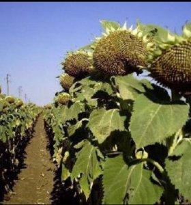 Семена Крупноплодного подсолнечника Джинн