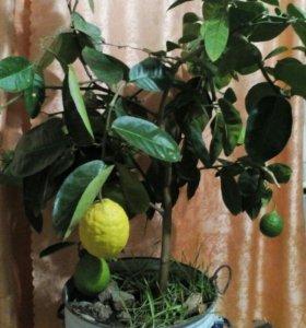 Лимон 5 лет