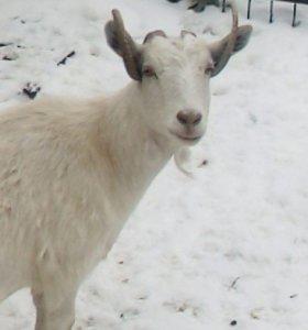 Козы дойные 2-3 годовалые и козлята 7-ми месячные