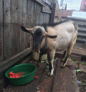 Продадим козла